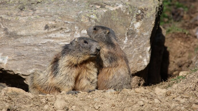 marmots at the Murmli Water at the Komperdell | © Serfaus-Fiss-Ladis/Tirol