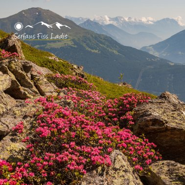 Alpine roses in bloom on the mountain in Serfaus-Fiss-Ladis, Tyrol, Austria | © Serfaus-Fiss-Ladis Marketing GmbH | Andreas Kirschner